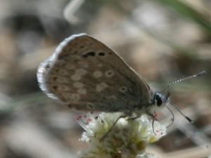 Boisduval's Blue underwing