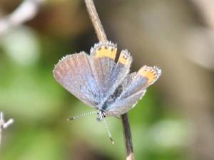 Lupine Blue