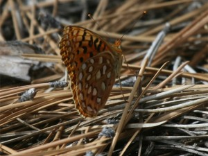 Greatbasin Fritillary