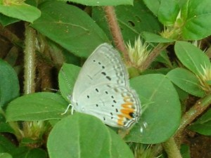 Tailed Meadow Blue