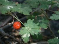Alpine Gooseberry