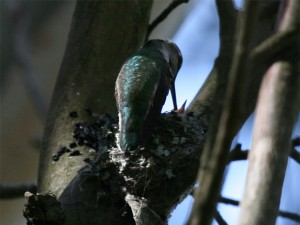 Anna's Hummingbird feeding