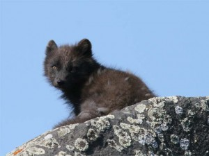 Arctic Fox, summer fur