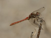 Bandwinged Meadowhawk
