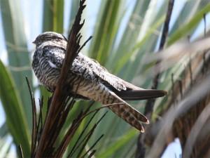 Common Night Hawk