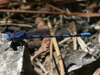 Familiar Bluet