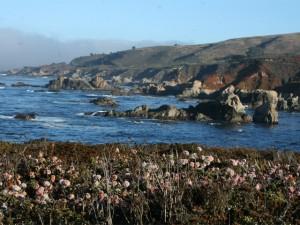 Coast Buckwheat