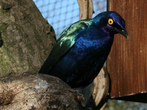Greater-blue-eared Starling