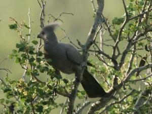 Grey Goaway Bird