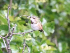 Immature Allens Hummingbird