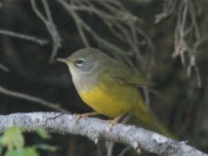 MacGillivray's Warbler Female