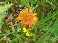 orange falsedandelion