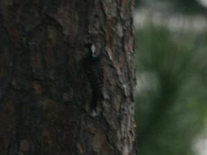 Redcockaded Woodpecker