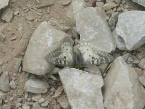 Rocky Mountain Parnassian