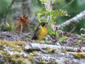 Spotted Nightingale-thrush
