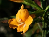Sticky Monkeyflower