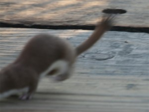 Weasel's tail