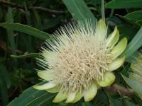 White Sugarbush
